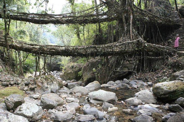 wpid root living bridges2 สะพานมีชีวิต เกิดจากรากไม้และเถาวัลย์..เป็นวิธีสร้างสะพานจากภูมิปัญญาท้องถิ่นของชาวเขาในอินเดีย