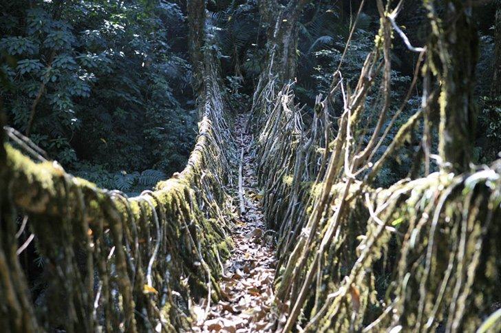 wpid root living bridges3 สะพานมีชีวิต เกิดจากรากไม้และเถาวัลย์..เป็นวิธีสร้างสะพานจากภูมิปัญญาท้องถิ่นของชาวเขาในอินเดีย