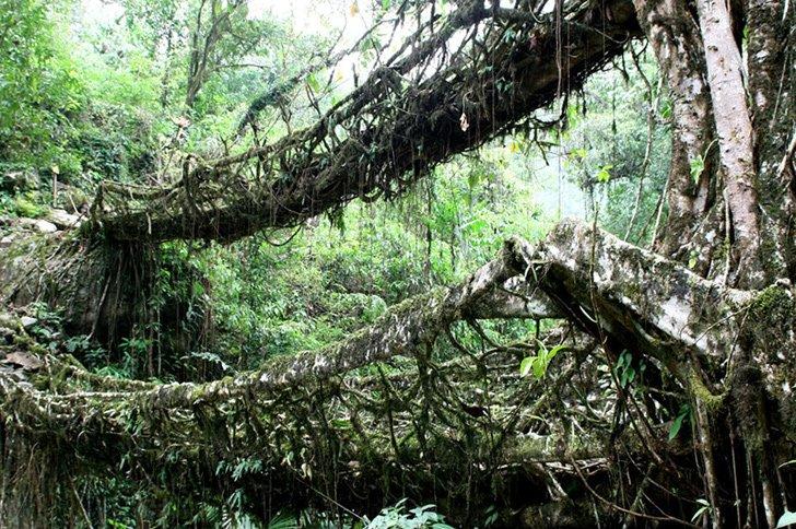wpid root living bridges4 สะพานมีชีวิต เกิดจากรากไม้และเถาวัลย์..เป็นวิธีสร้างสะพานจากภูมิปัญญาท้องถิ่นของชาวเขาในอินเดีย