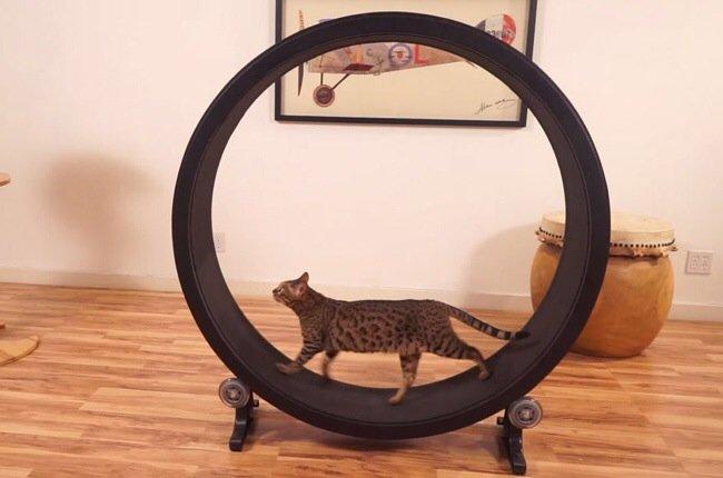 One Fast Cat: แมวถีบจักร..เครื่องออกกำลังกายของแมว 13 - ออกกำลังกาย