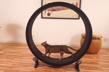 One Fast Cat: แมวถีบจักร..เครื่องออกกำลังกายของแมว 26 - แมว