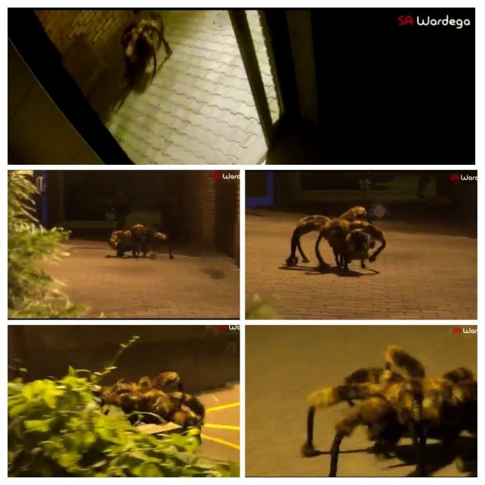 IMG 5237 สุดยอดไวรัลคลิป..Giant Spider Dog เมื่อสุนัขแต่งชุดแมงมุมยักษ์ออกอาละวาดทั่วเมือง