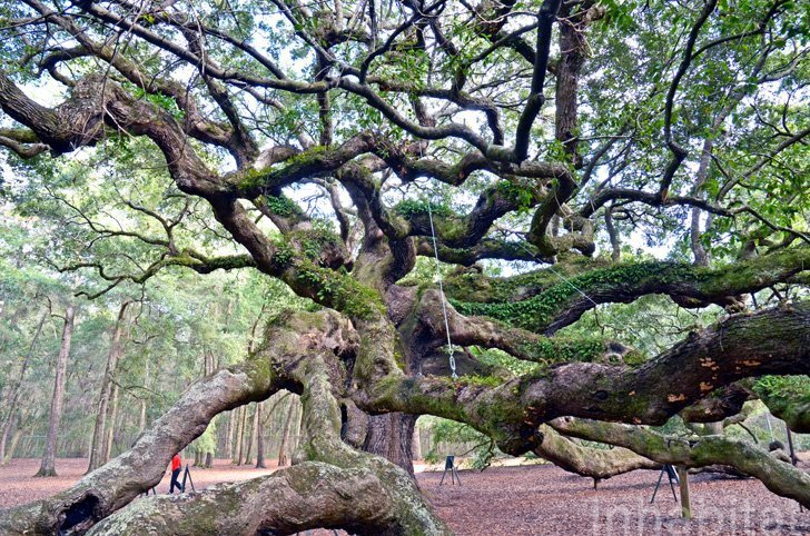 IMG 5998 Angel Oak ต้นไม้ดึกดำบรรพ์อายุ1,400ปี ใน South Carolina