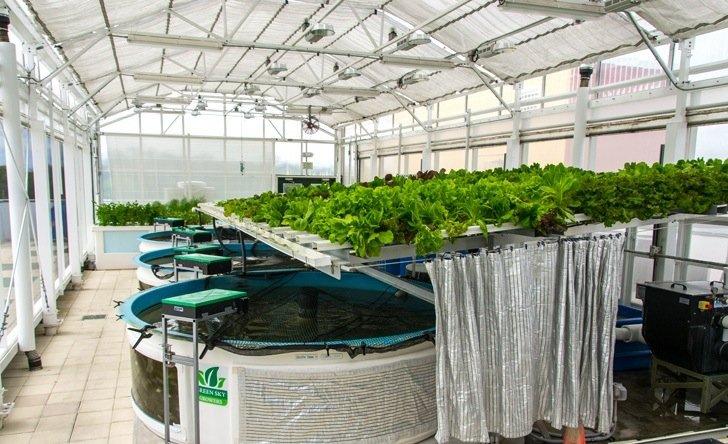 IMG 6714 สวนเกษตรบนหลังคาตึก ปลูกผักด้วยระบบ hydroponics ช่วยบำบัดน้ำเสียในบ่อเลี้ยงปลา