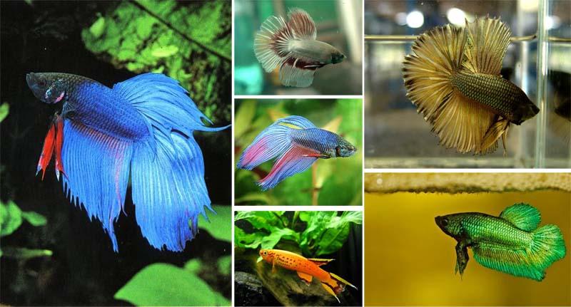 """Fish พิพิธภัณฑ์ปลากัดไทย ตั้งอยู่ในพื้นที่ """"เกาะกระเพาะหมู"""""""