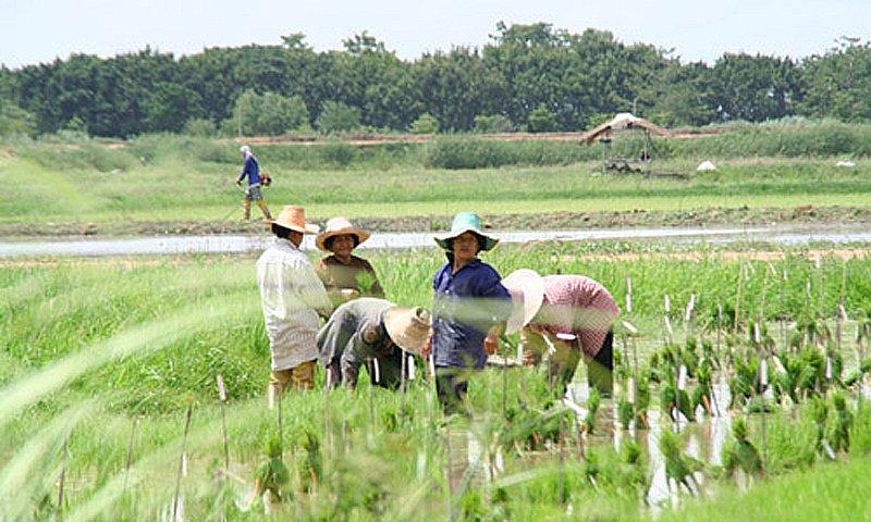 sukhothai organic rice farm activities Sukhothai Heritage Resort