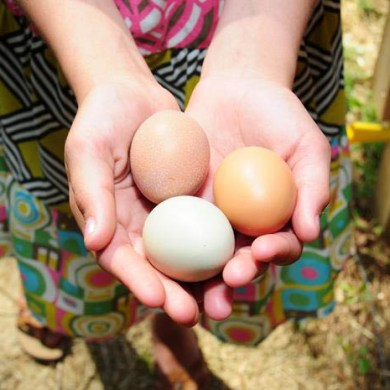 """ปล่อยไก่อุดมชัยฟาร์ม ปล่อยให้ """"ไก่"""" และ""""คน"""" มีความสุขไปพร้อมกัน 21 - egg"""