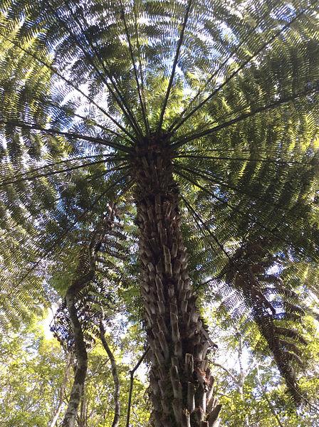 """ทำความรู้จัก """"เฟินต้นสีเงิน"""" ต้นไม้นำทางชาวเผ่าเมารี สัญลักษณ์ประเทศนิวซีแลนด์ 17 - ต้นเฟินสีเงิน"""