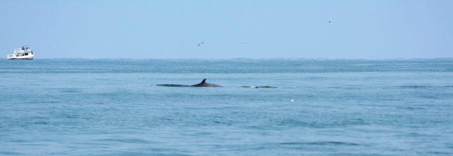 Bryde05 1 650x224 ล่องเรือชม วาฬบรูด้า สัตว์ป่าสงวนลำดับที่ 16 สัตว์ประจำถิ่นอ่าวไทย