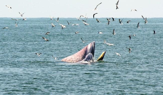 Bryde07 650x382 ล่องเรือชม วาฬบรูด้า สัตว์ป่าสงวนลำดับที่ 16 สัตว์ประจำถิ่นอ่าวไทย
