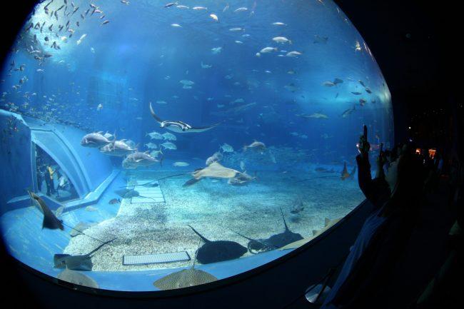 IMG 2392 750x500 พิพิธภัณฑ์สัตว์ทะเล ชูราอิมิ (Churaumi Aquaium) แห่งโอกินาวา (Okinawa)