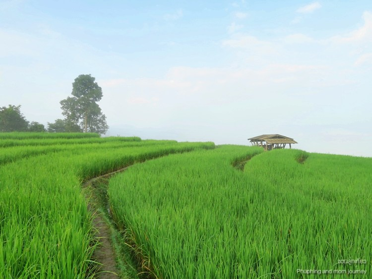 papongpieng3 750x563 เสพวิวหลักล้านที่บ้านป่าบงเปียง สุดยอดนาขั้นบันไดของเมืองไทย