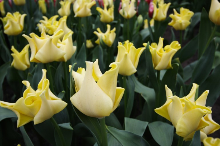 สวนเคอเคนฮอฟ (Keukenhof) เนเธอร์แลนด์ สวนดอกไม้หลายล้านดอก ที่ใหญ่ที่สุดในโลก 23 - ทิวลิป