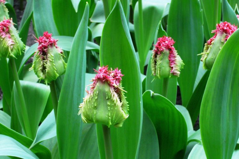 สวนเคอเคนฮอฟ (Keukenhof) เนเธอร์แลนด์ สวนดอกไม้หลายล้านดอก ที่ใหญ่ที่สุดในโลก 26 - ทิวลิป