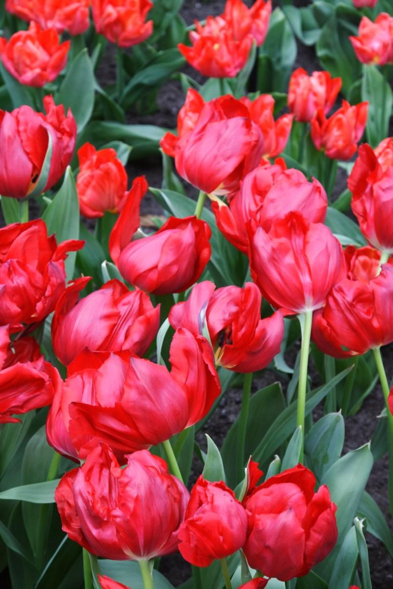 สวนเคอเคนฮอฟ (Keukenhof) เนเธอร์แลนด์ สวนดอกไม้หลายล้านดอก ที่ใหญ่ที่สุดในโลก 24 - ทิวลิป