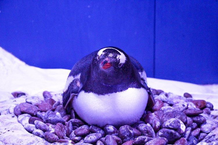 """ตะมุตะมิ! ซีไลฟ์ฯ ต้อนรับ """"ลูกเพนกวินเจนทูตัวแรก"""" ในประเทศไทย  พิเศษ! ร่วมตั้งชื่อเจ้าตัวน้อย...ลุ้นรางวัลใหญ่ ถึง 31 กรกฎาคม นี้เท่านั้น! 16 - Gentoo Penguin"""