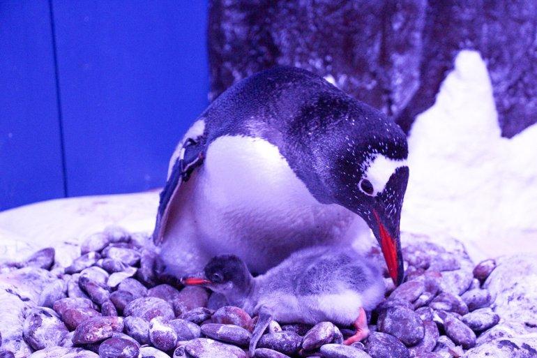 """ตะมุตะมิ! ซีไลฟ์ฯ ต้อนรับ """"ลูกเพนกวินเจนทูตัวแรก"""" ในประเทศไทย  พิเศษ! ร่วมตั้งชื่อเจ้าตัวน้อย...ลุ้นรางวัลใหญ่ ถึง 31 กรกฎาคม นี้เท่านั้น! 15 - Gentoo Penguin"""