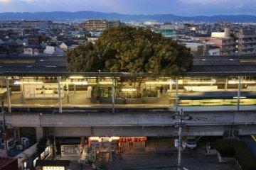 สถานีรถไฟญี่ปุ่นเจาะสถานีเพื่อรักษาต้นไม้อายุ 700 ปี