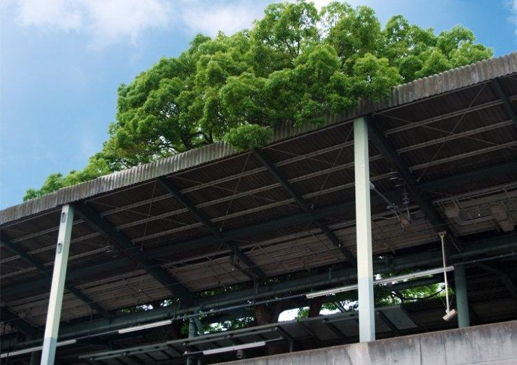 สถานีรถไฟญี่ปุ่นเจาะสถานีเพื่อรักษาต้นไม้อายุ 700 ปี 6 - greenery homepage