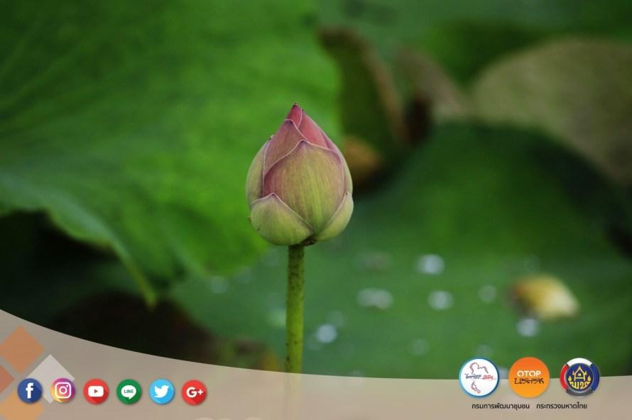 ล่องเรือ เข้าสวน ชวนเก็บดอกบัวแบบชาวชุมชนริมคลองมหาสวัสดิ์ จ.นครปฐม 16 - Amazing Thailand