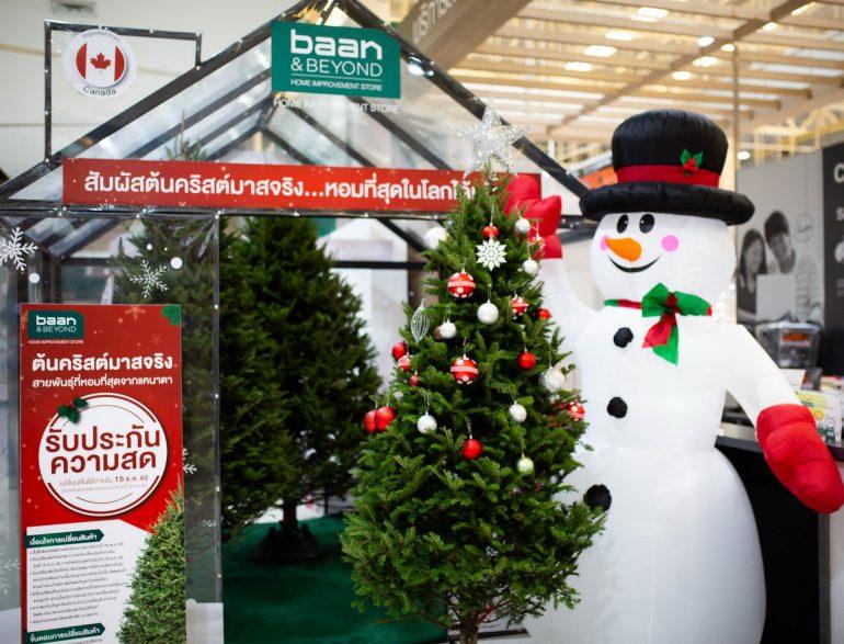 บ้านแอนด์บียอนด์ และ ไทวัสดุ ต้อนรับเทศกาลแห่งความสุข นำเข้าต้นคริสต์มาสจริง สายพันธ์ที่หอมที่สุดในโลก ส่งตรงจากประเทศแคนาดา 13 -
