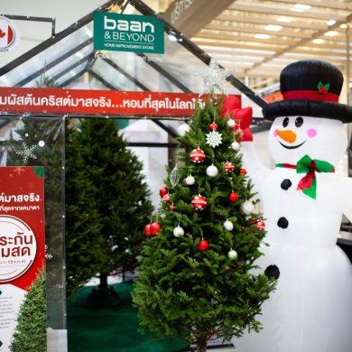 บ้านแอนด์บียอนด์ และ ไทวัสดุ ต้อนรับเทศกาลแห่งความสุข นำเข้าต้นคริสต์มาสจริง สายพันธ์ที่หอมที่สุดในโลก ส่งตรงจากประเทศแคนาดา 15 -
