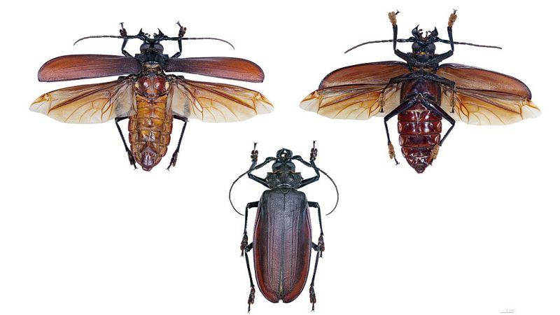 Il più grande insetto del mondo