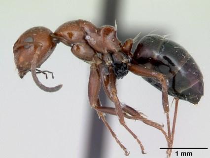 AntWeb.org image of Order:Hymenoptera Family:Formicidae Genus:Camponotus Species:Camponotus lateralis Specimen:casent0080857 View:profile