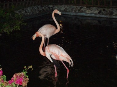 Two flamingos in punta cana