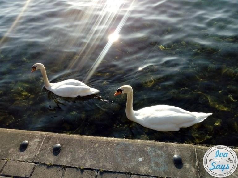 Swans in Lake Ohrid in Ohrid, Macedonia. Travel   Bucket list destination   Romantic Travel   Culture Travel   Europe   Summer destiantion