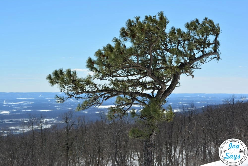 Pine Tree in High Point State Park in Sussex, NJ
