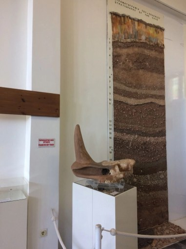 A rhinoceros horn that was found in the Petralona Cave, Greece displayed in the museum on the property by the cave.