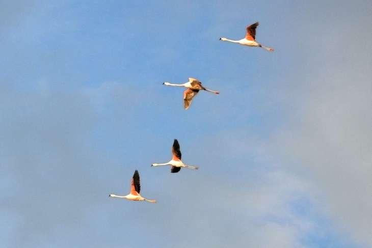 fenicotteri alla laguna Nimez El Calafate