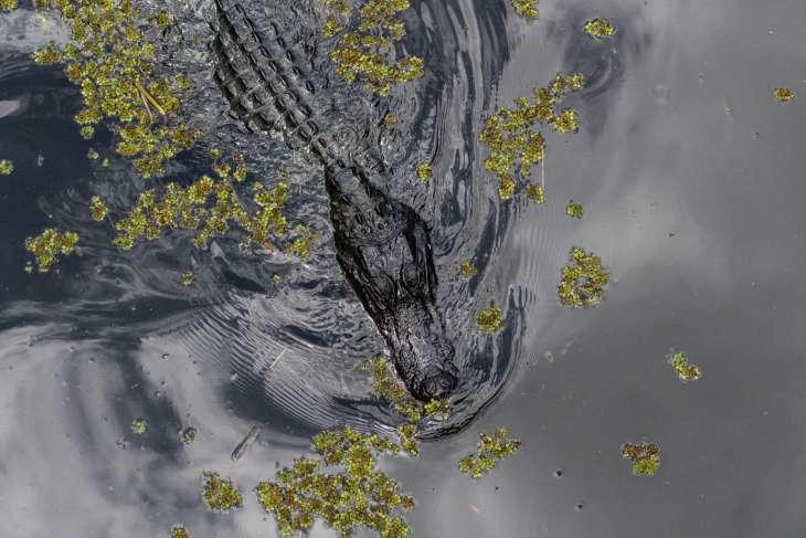 alligatore nella Barataria Preserve