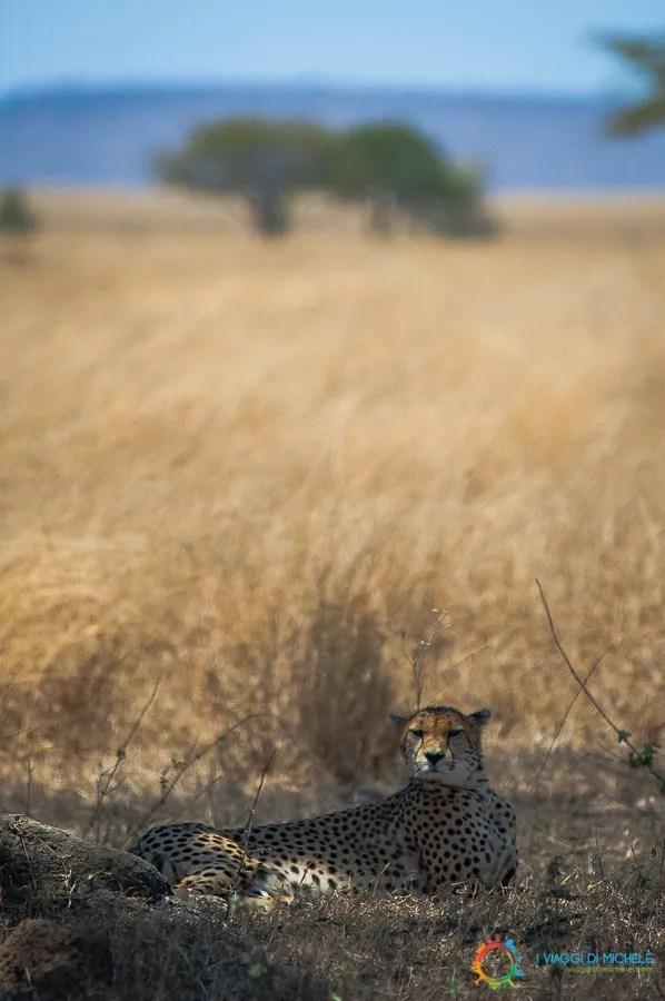 Il Ghepardo al riparo dal sole - Fotografia di Viaggio