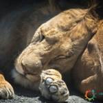 Giovane Leone che dorme - Ngorongoro Crater