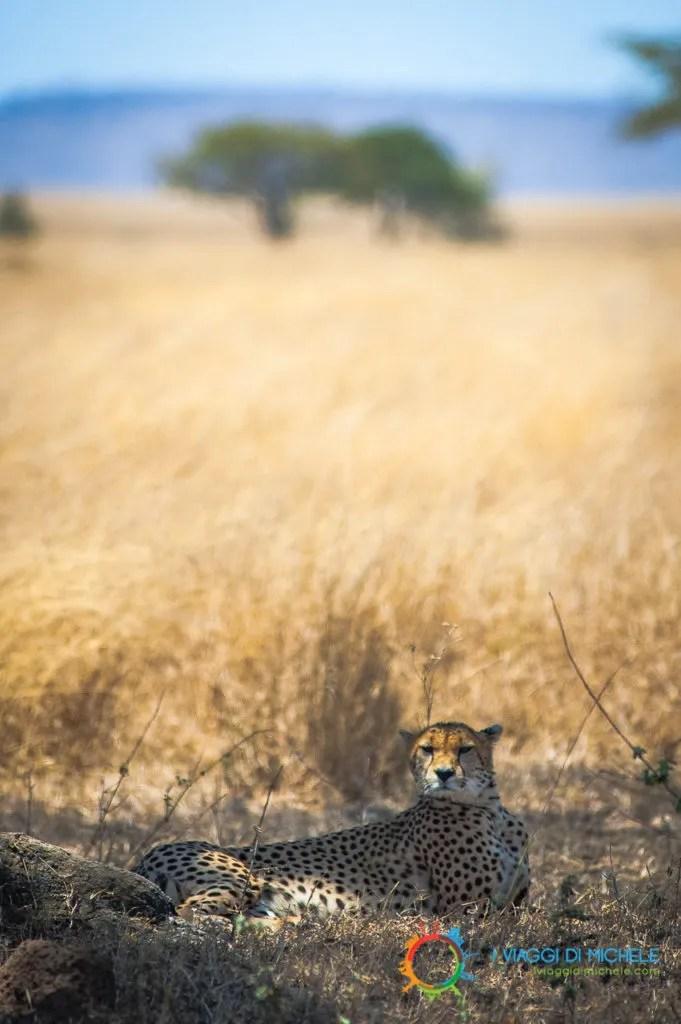 Il Ghepardo nel Serengeti