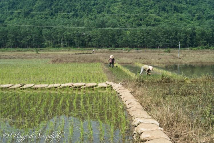 Campi coltivati a risaia - Isola di Cat Ba