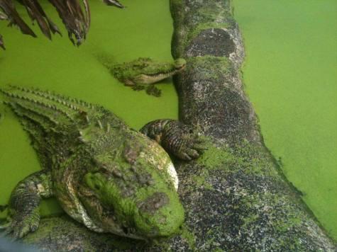 Coccodrilli Australia