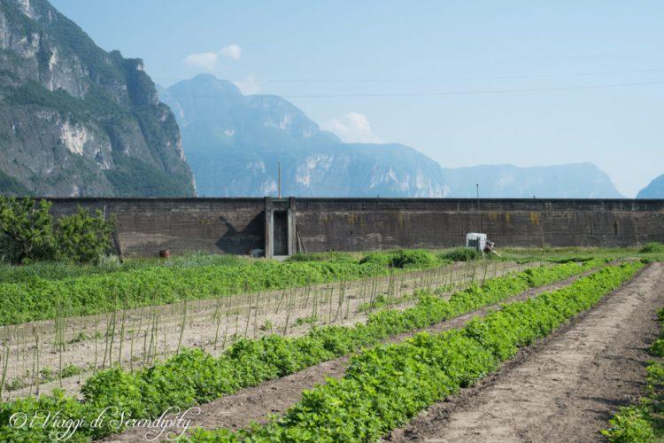 Campi coltivati Asparagi bianchi