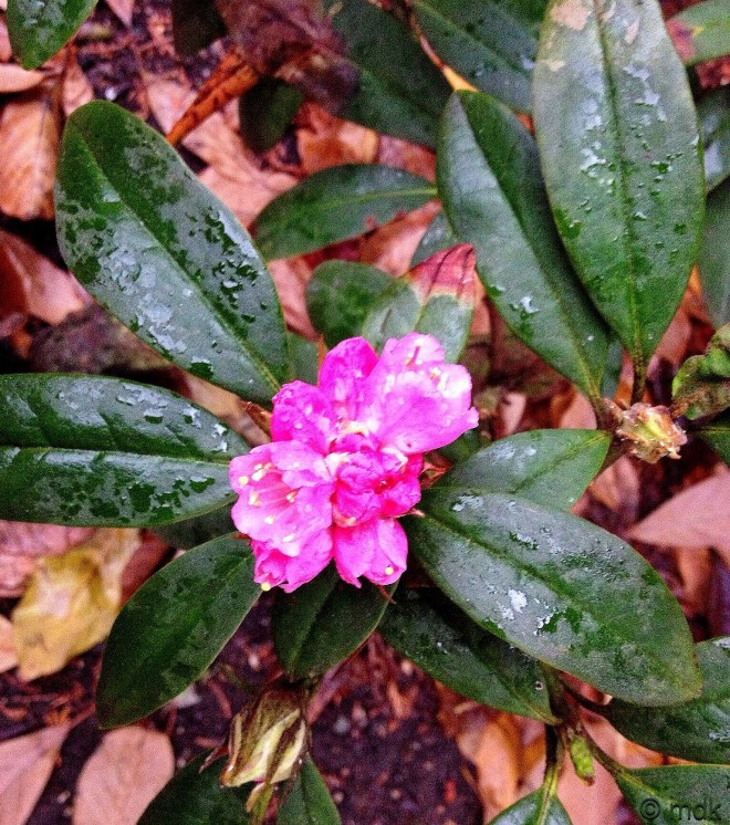 Brave rhododendron