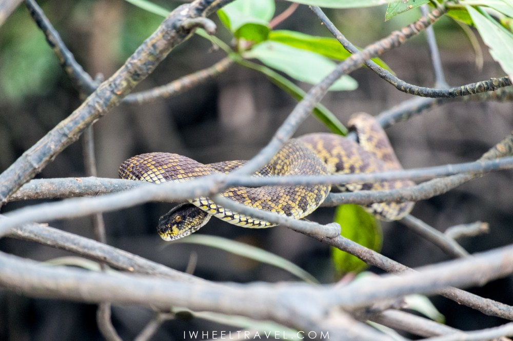 These snakes stay in trees waiting for high tide and catch fishes when they are close enough.