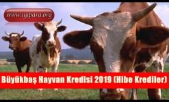Büyükbaş Hayvan Kredisi 2019 (Hibe Krediler)