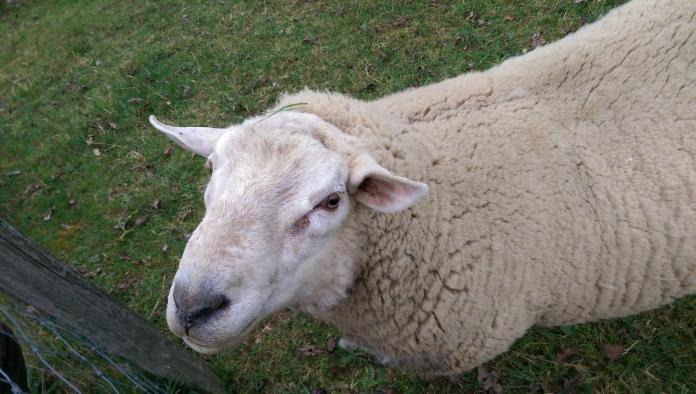 Par peur du loup on finit mouton - Crédit photo izart.fr