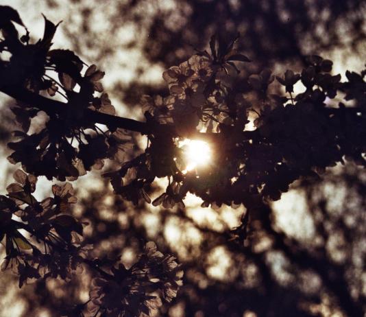 Mon bon vieux cerisier je suis désolée - Crédit photo B.F.