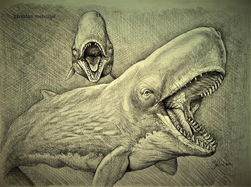 Tekening paleokunst Livyatan melvillei uitgestorven zeezoogdier