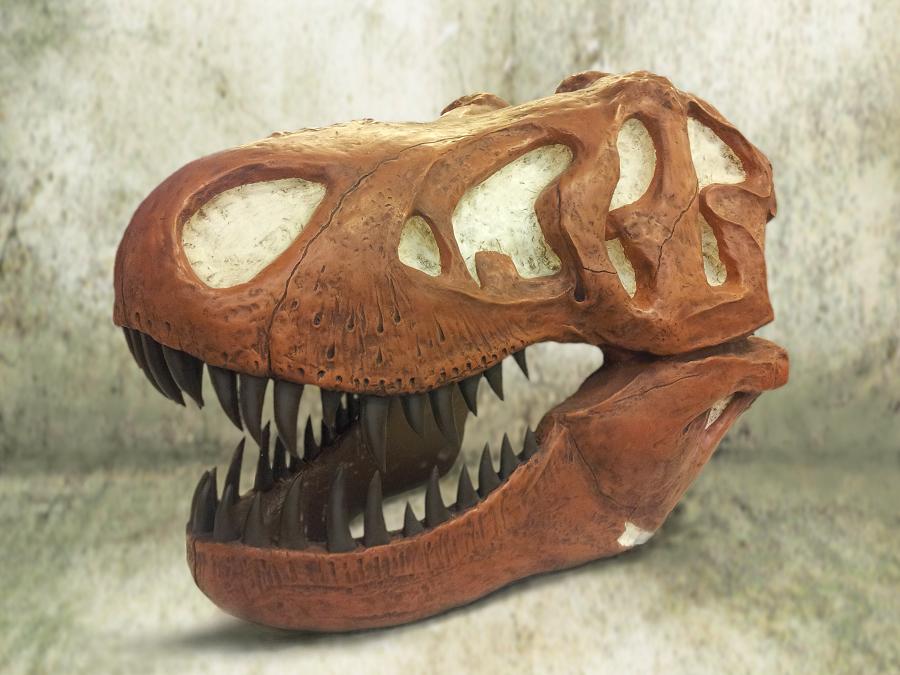 Beeld van de t-rex. Display van de dinosaurus schedel gemaakt in opdracht