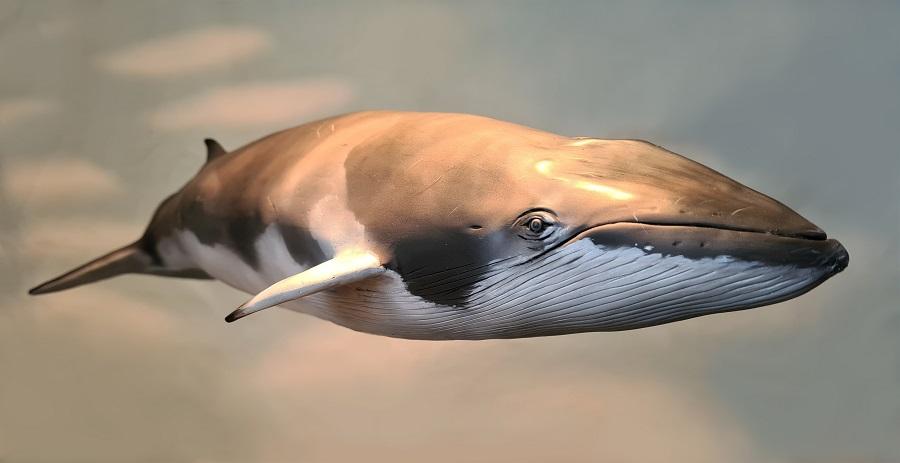 Sculptuur 3D van een dwerg vinvis. Dit kunstwerk staat tentoongesteld in museum Historyland en is gemaakt door kunstenaar Jaap Roos