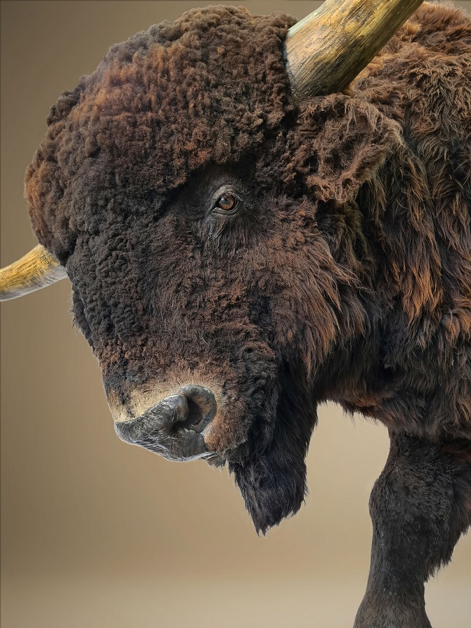 Sculpture Steppe wisent. This statue of the Bison priscus is scientifically reconstructed by paleo artist Jaap Roos