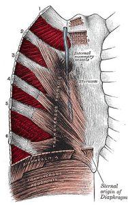 Intercostal-muscle